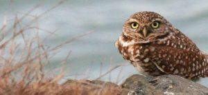 bird-tours-burrowing-owl-bird